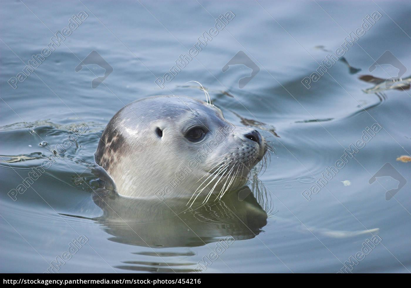 seal, pup - 454216