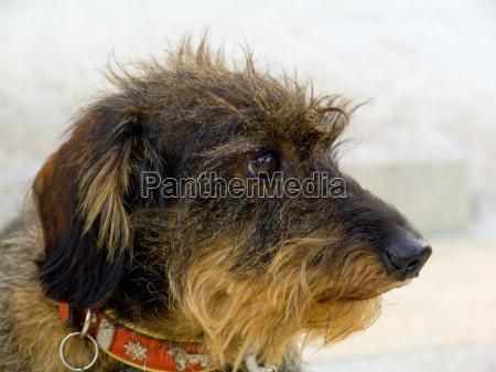 dachshund, profile - 456455