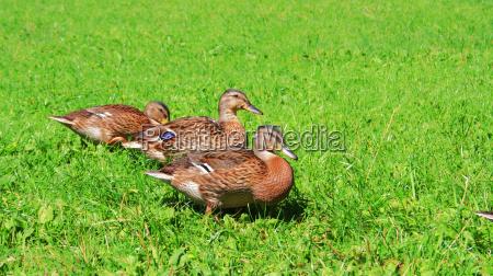 wild duck no 1