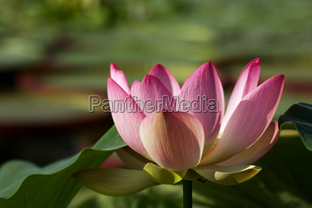 lotus, blossom - 461842