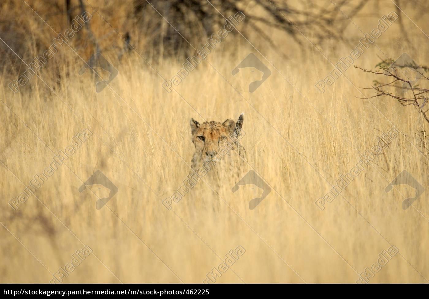 cheerful, cheetah - 462225