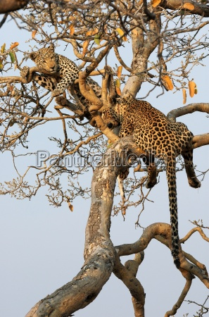 leopard, and, cub, in, tree - 462202