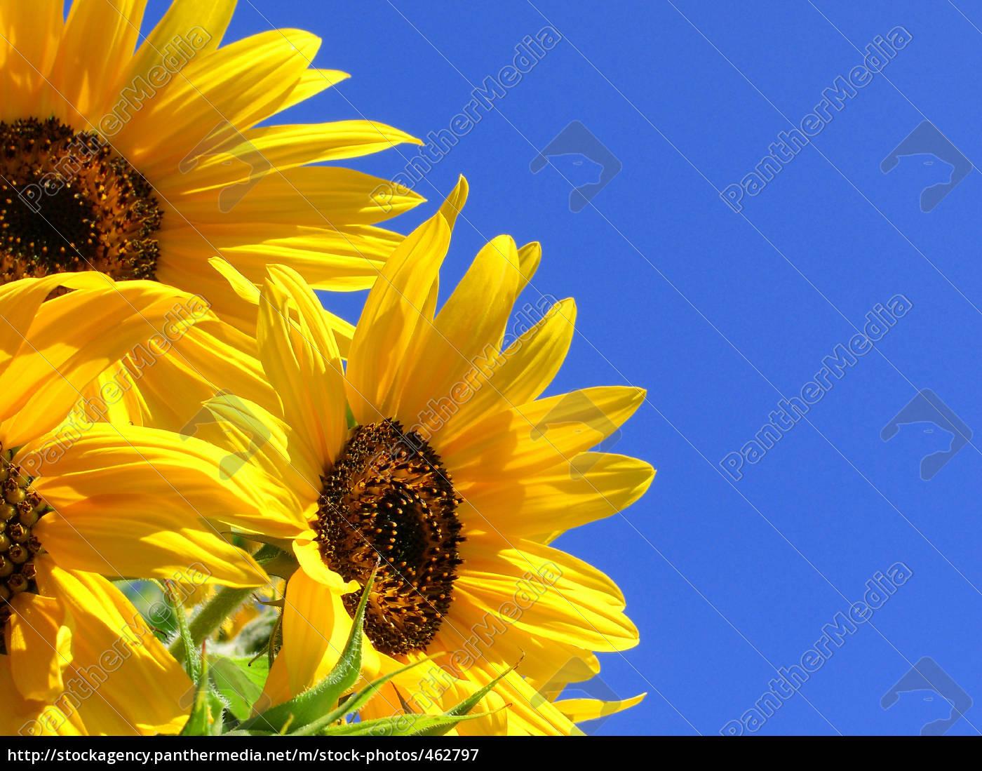 sunflowers, 27 - 462797