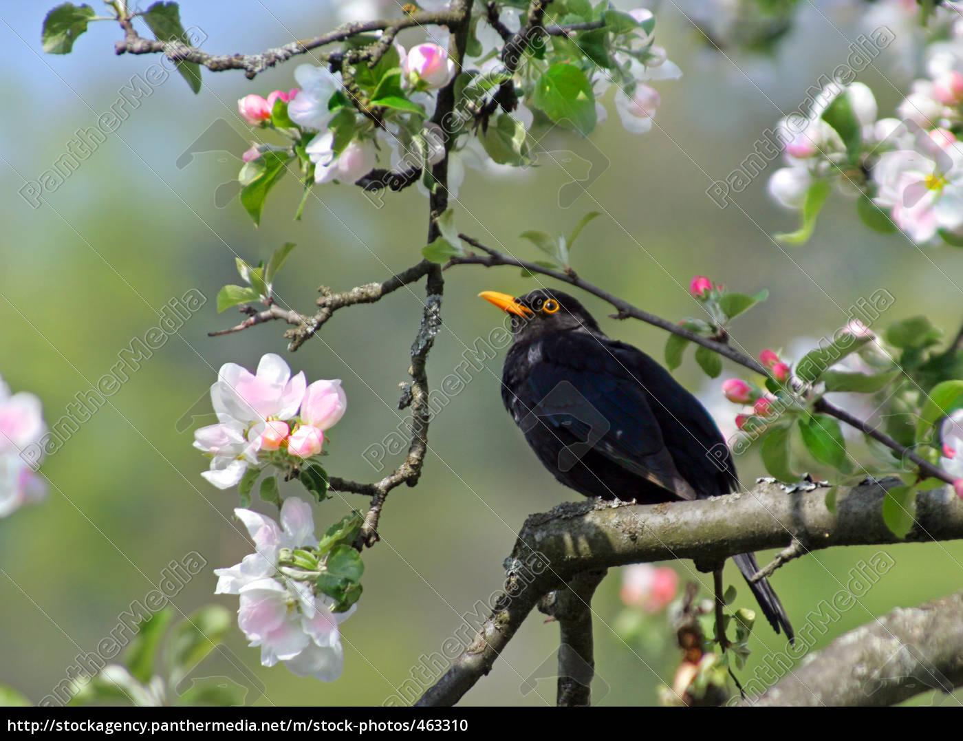 blackbird, in, apple, tree - 463310