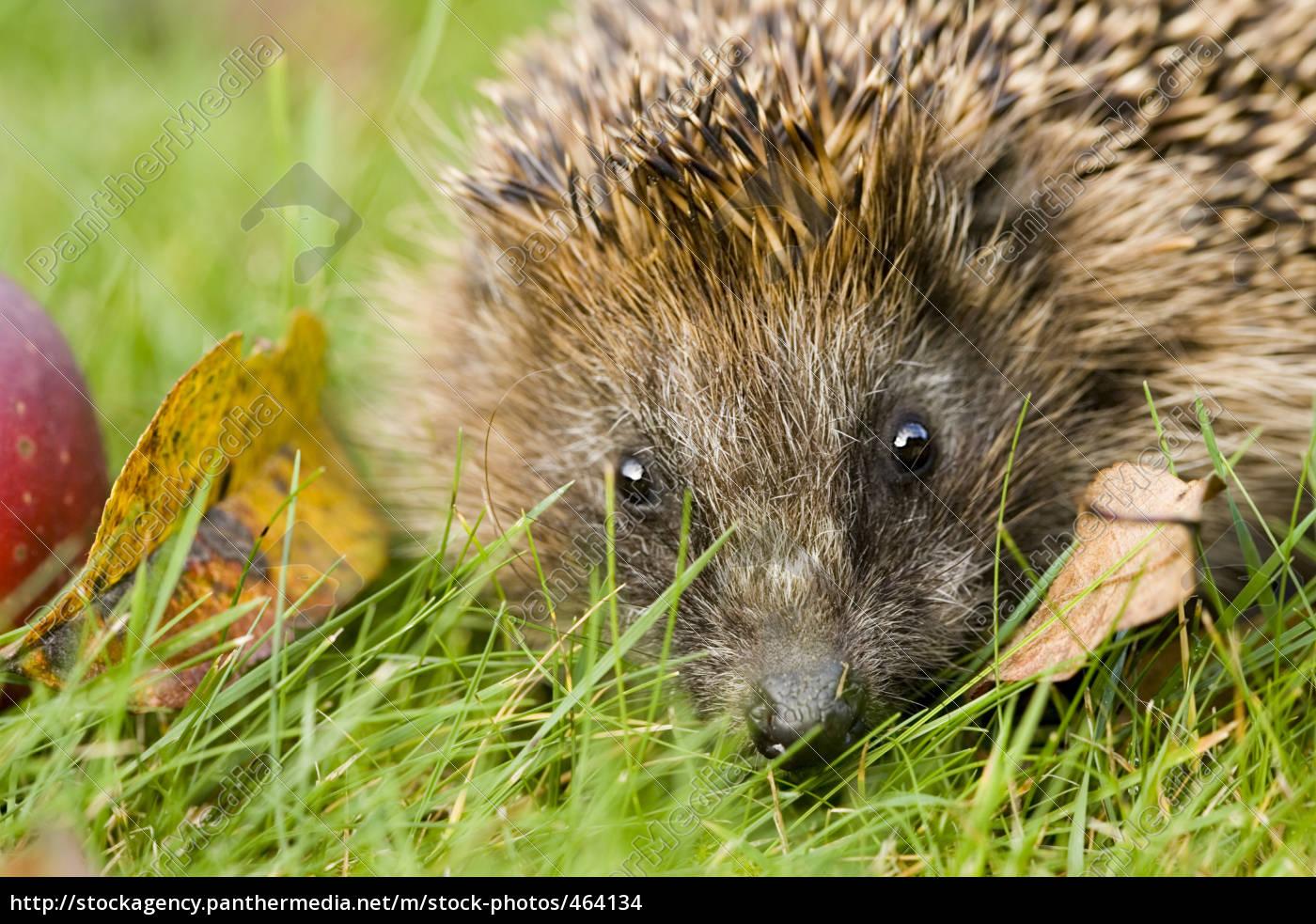 hedgehog - 464134