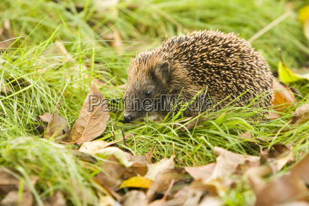 hedgehog - 464136