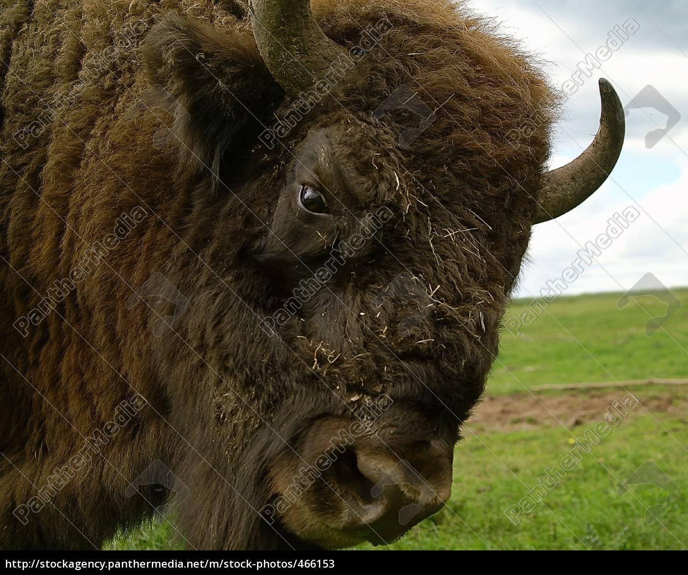buffalo, bill - 466153