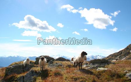 tyrolean mountain sheep