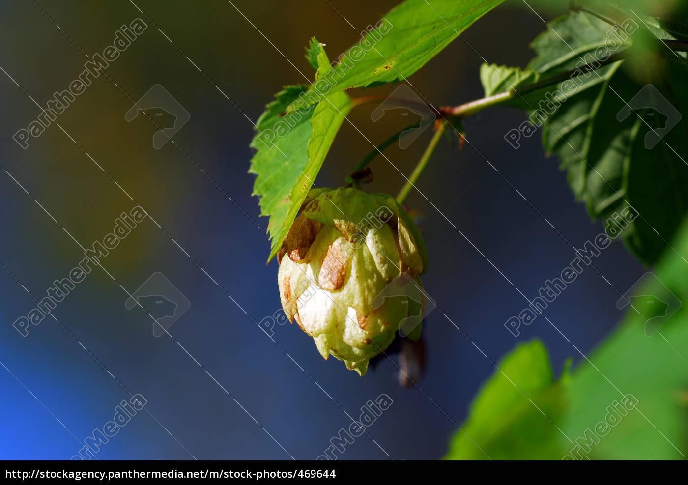 hops, 02 - 469644