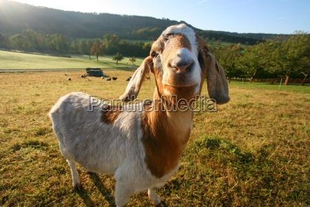 weird, goat - 471522