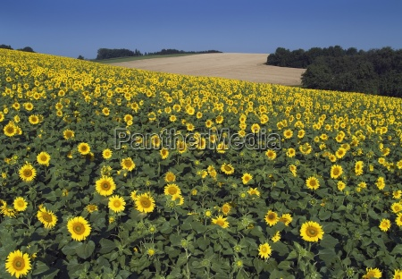 sunflower, field - 474664
