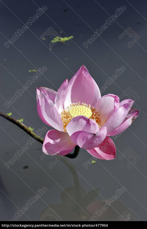 lotus, flower, 2 - 477904