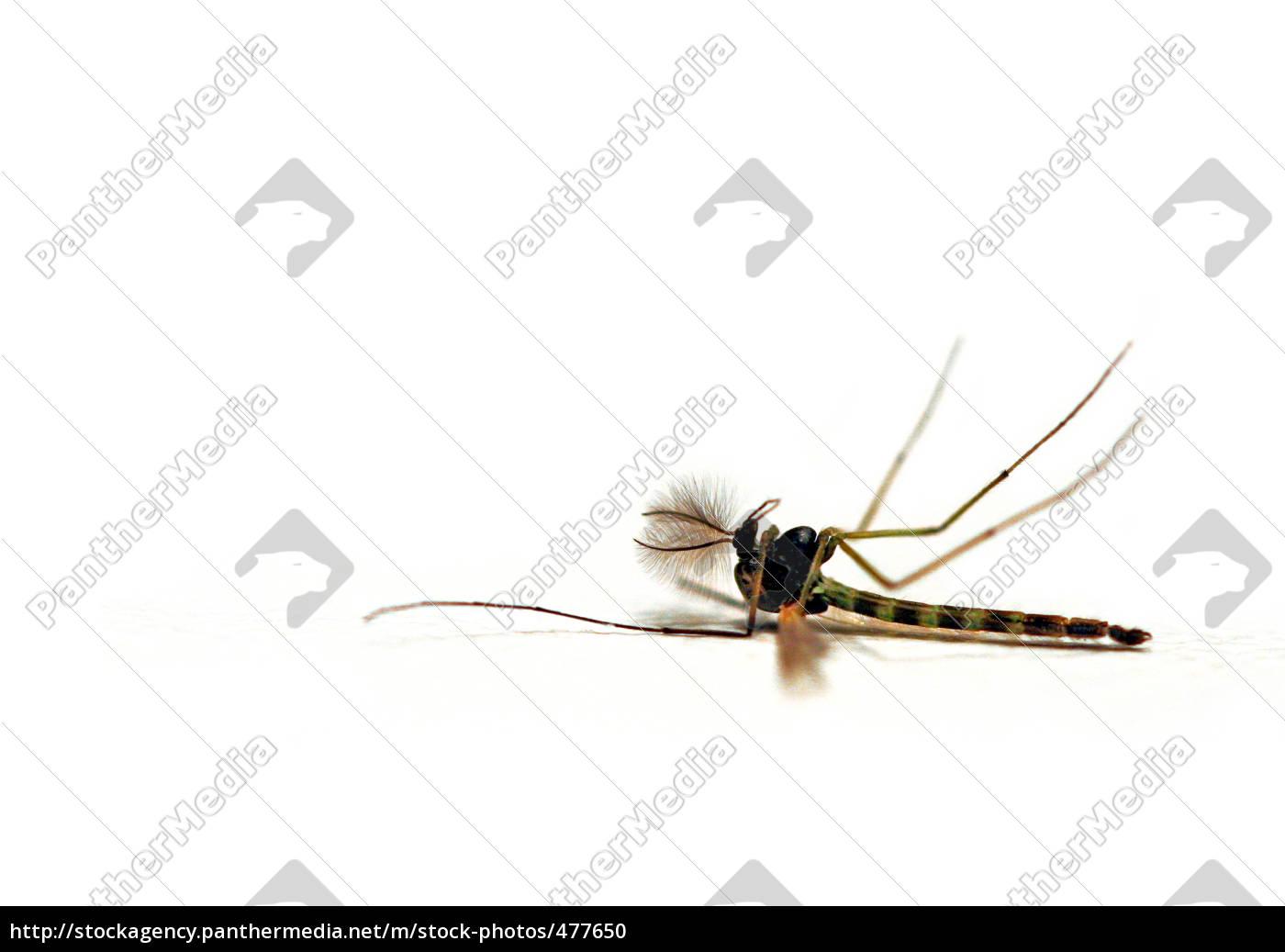 mosquito - 477650