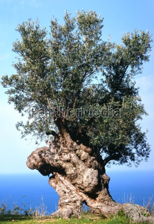 olive, tree, above, the, sea - 477130