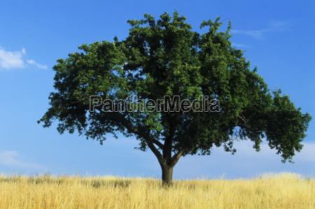 apple, tree - 480352