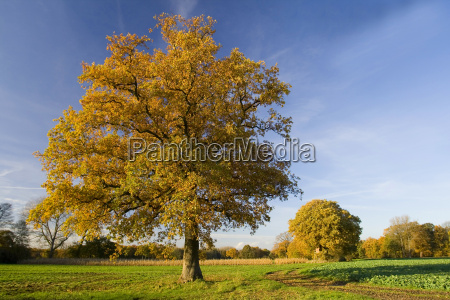 solitary, oak, tree, in, autumn - 481945