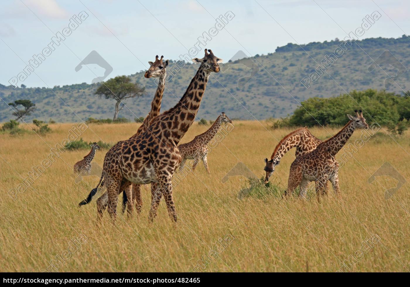 giraffenherde - 482465