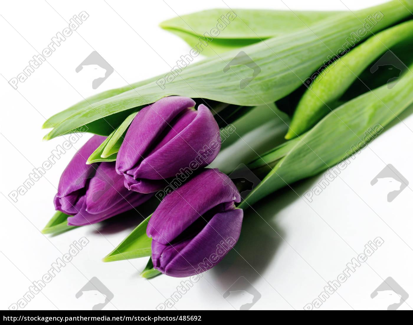 tulips - 485692
