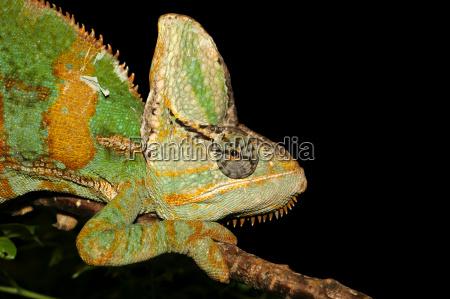yemen, chameleon - 485986