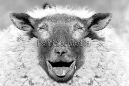 real, sheep - 486905