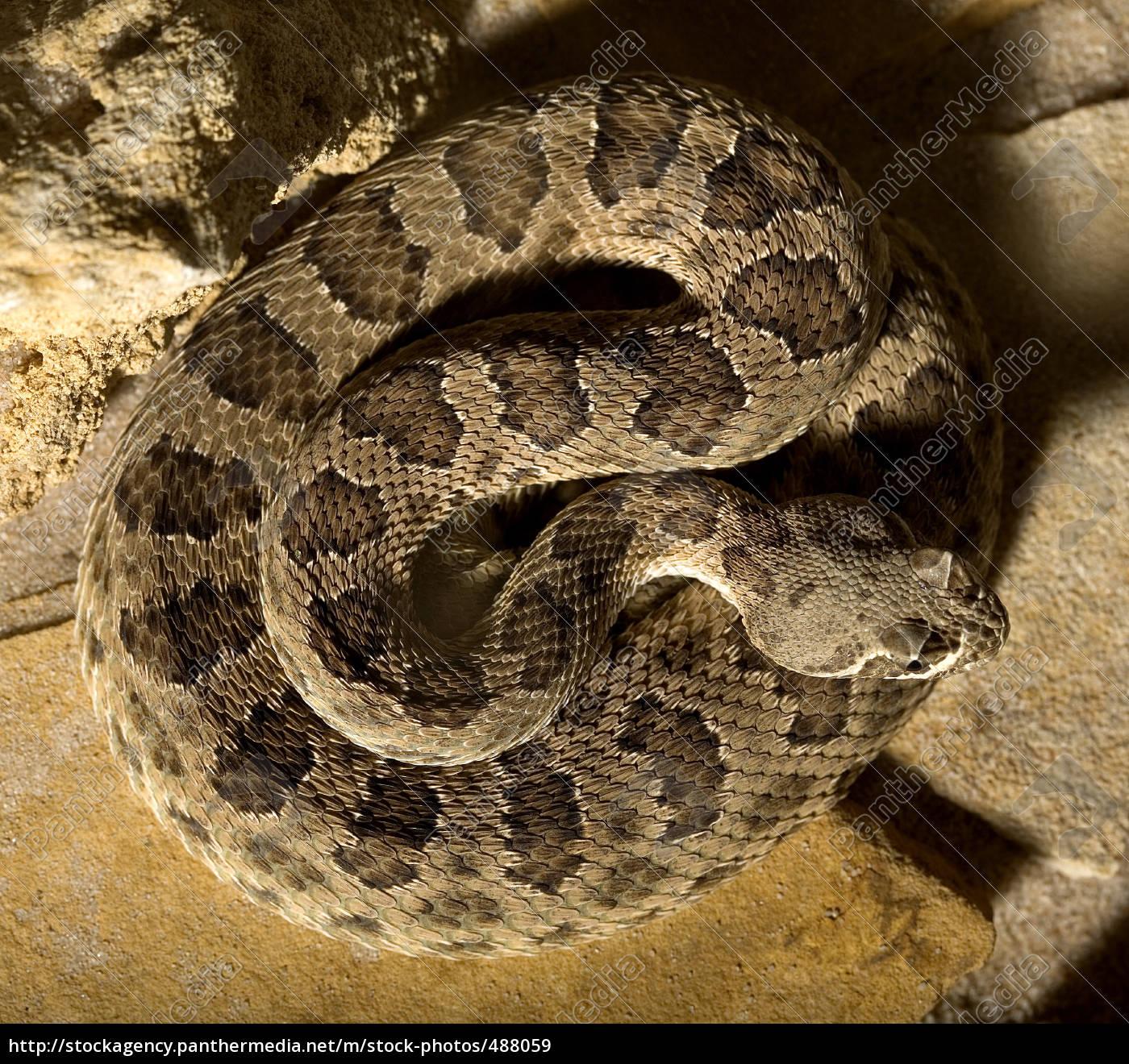 Stock Photo 488059 - rattlesnake