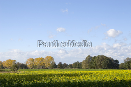 rapeseed and groves