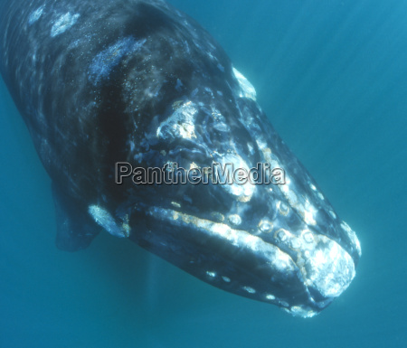 southern, right, whale - 491123