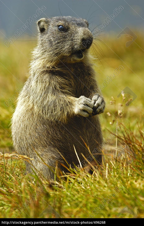marmot - 496268