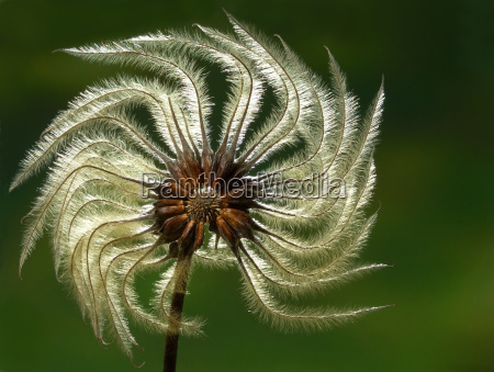 clematis, seed - 498411