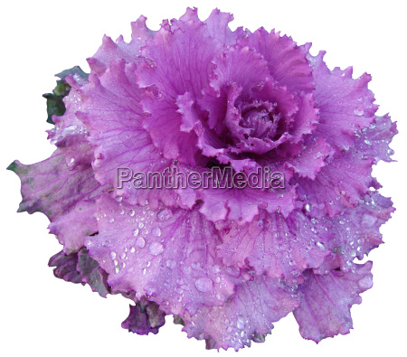 winter ornamental red cabbage