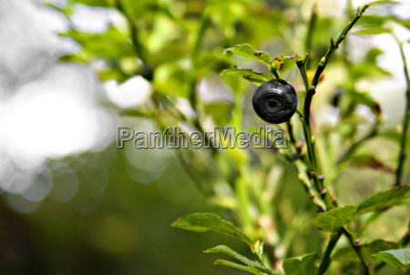 lonely bilberry