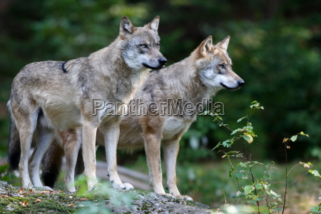 wolves, watching, the, rock - 506255