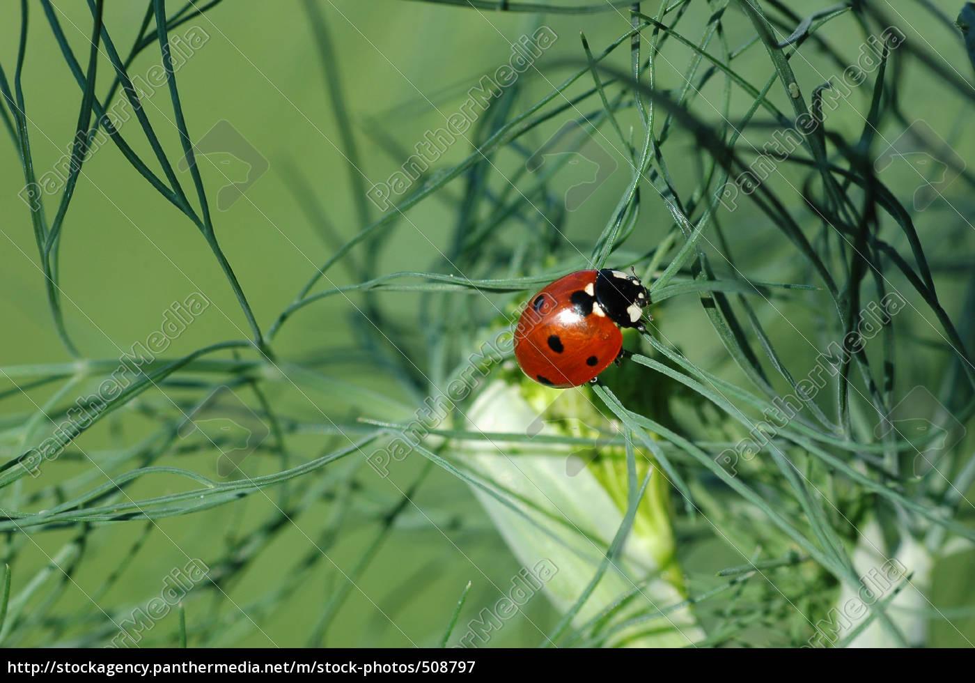 ladybugs, on, dill - 508797