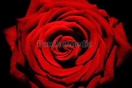 red, rose - 509299
