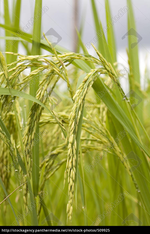 rice, plant - 509925