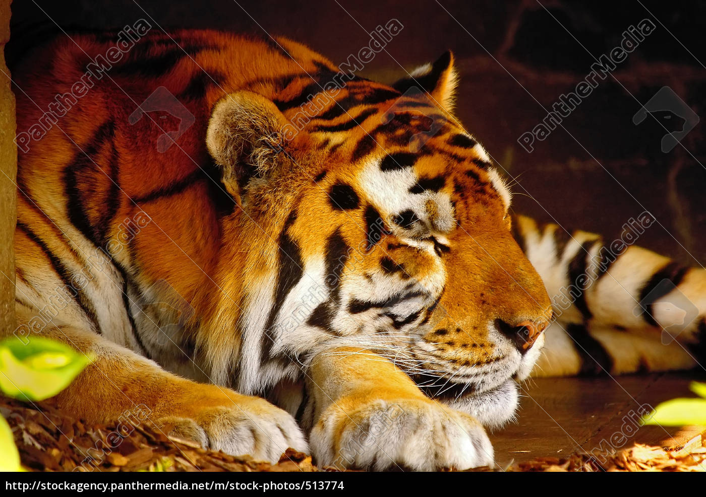 tiger - 513774
