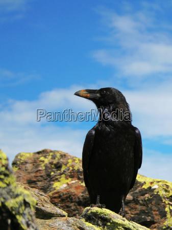 raven, no., 2 - 514052