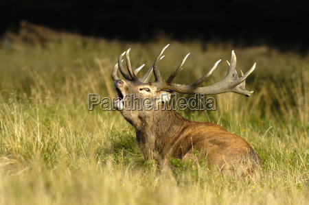 red, deer - 514919