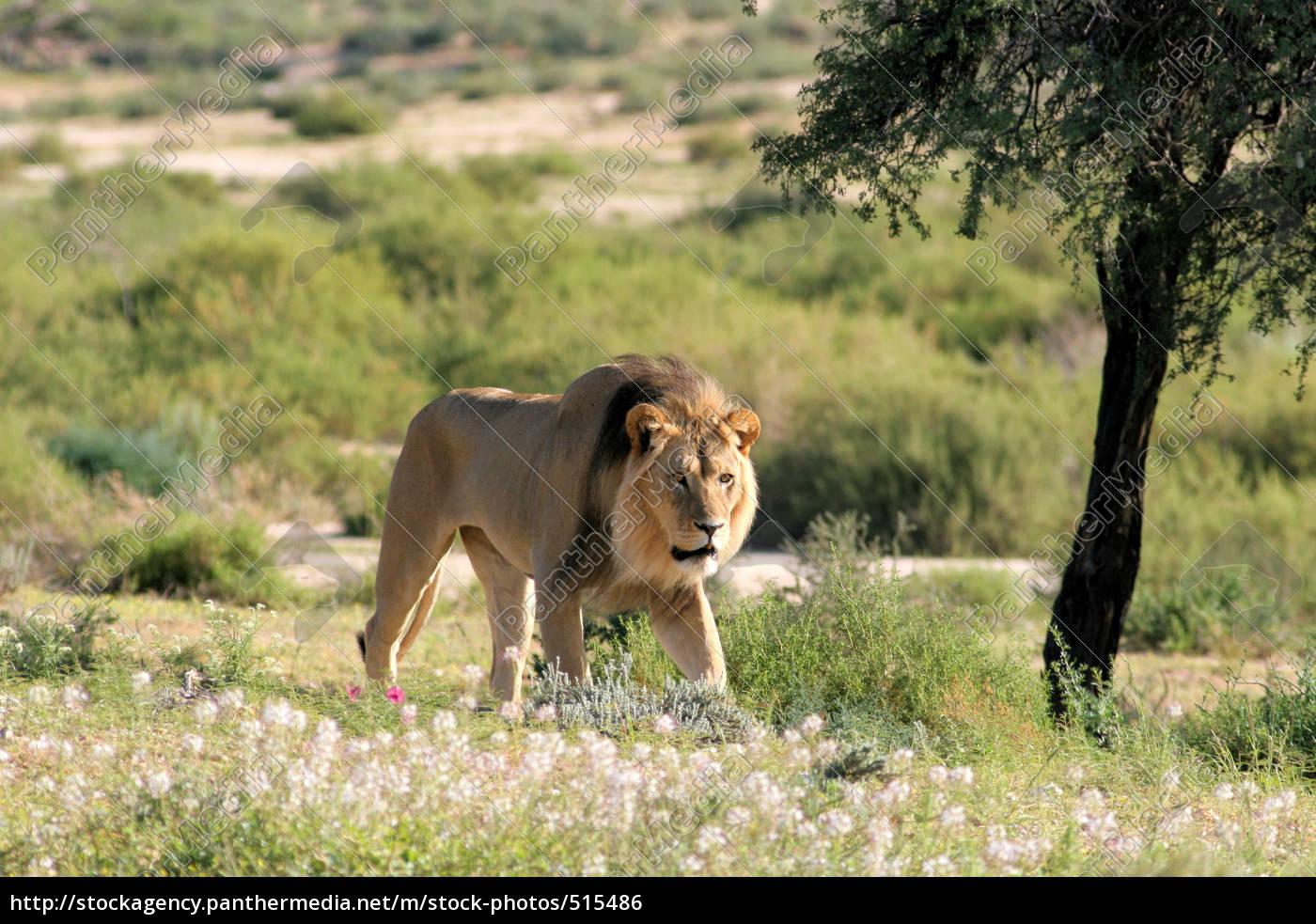 male, lions - 515486
