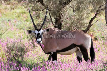 oryx - 515482