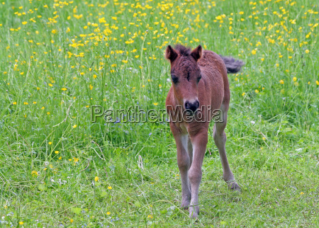 young, stallion, on, spring, meadow - 515329