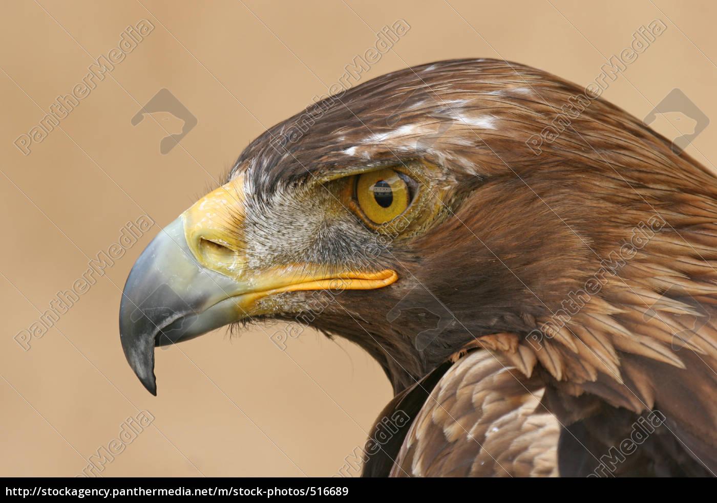 golden, eagle - 516689