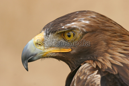 golden, eagle - 516689