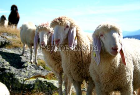 tyrolean mountain sheep no 2