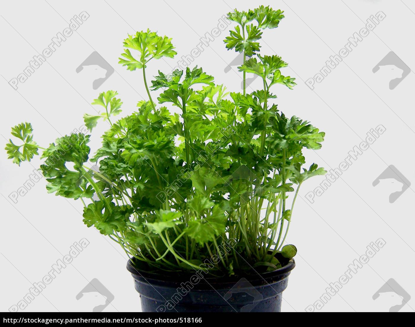 parsley - 518166