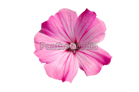 pink, mallow, blossom, free - 519604