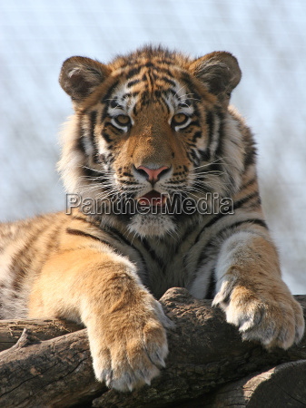 young, tiger - 520047