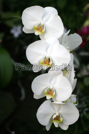 orchid - 522498