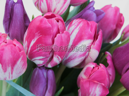 tulips, 4 - 522084