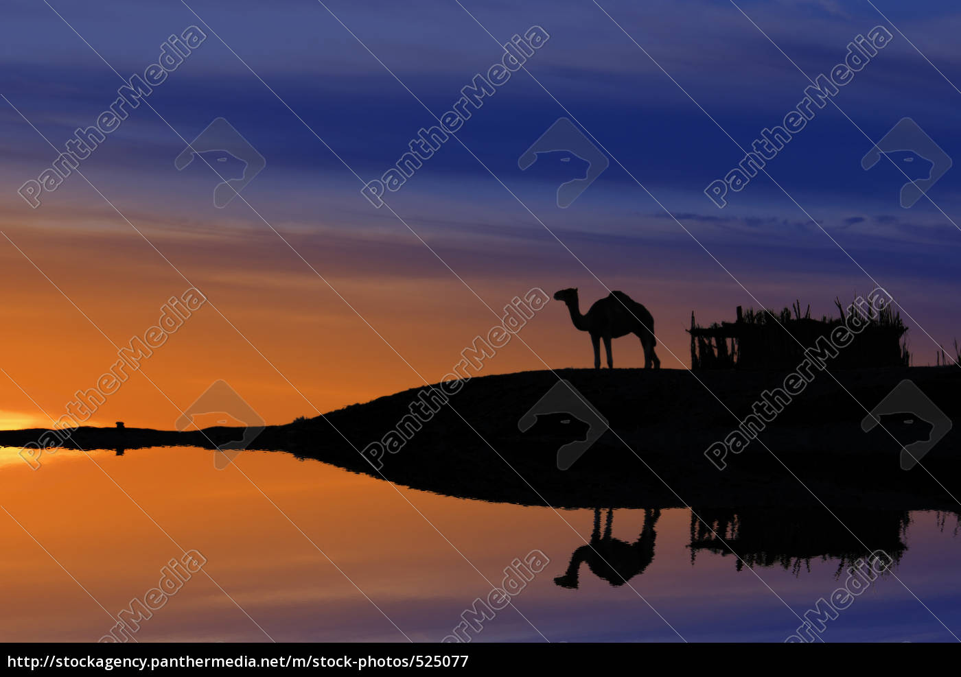 camel, waterfront - 525077